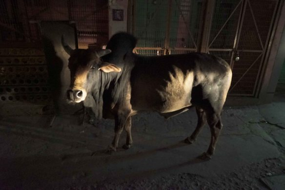 cow at night