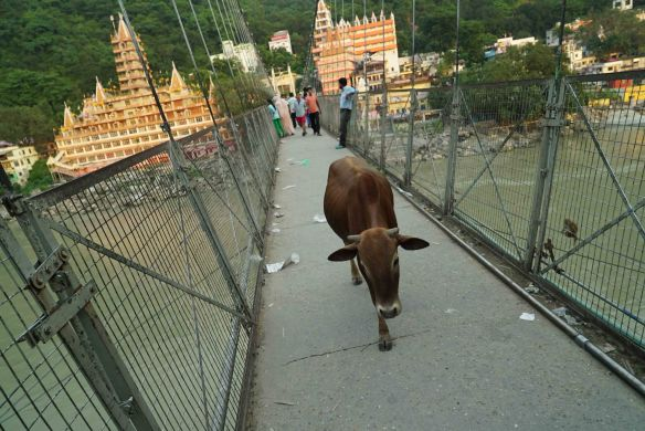 cow on bridge