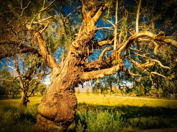 Old tree in Mudgee-1